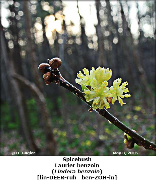 Spicebush_May08_2015.jpg